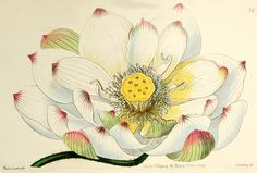 janebrickley: Lotus drawing, ca. 1844