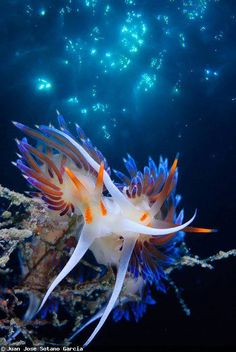 Nudibranch By: Juan Jose Sotano Garcia