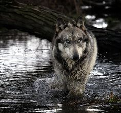 Gray Wolf River by yair_leibovich