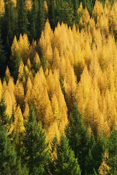 High angle view of autumn color larch trees in pine tree forest, Montana, USA. by Panoramic Images
