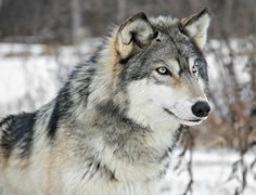 Grey Wolf by MLGreenly via Flickr.