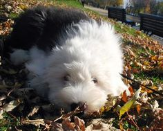 An Old English Sheepdog pup, I can only wish. So cute and fluffy.