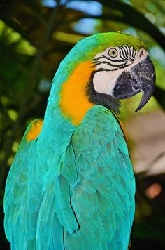 Ara ararauna (Blue and Yellow Macaw / Blue and Gold Macaw) -  Flickr - Photo Sharing!