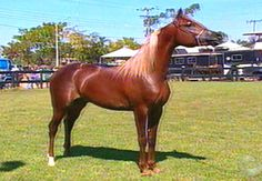 cavalos de raça portuguesa - Como raça de cavalo, tem sido sempre considerado que o árabe tem outras qualidades além da beleza. As suas características principais são que os cavalos ...