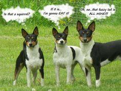 Deckers....our Kipper is a Decker Rat Terrier