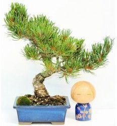 Bonsái Pino Blanco Japonés 18 años (Bonsái Pinus pentaphylla sp.)