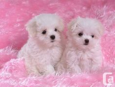 tiny t cup maltese male& female