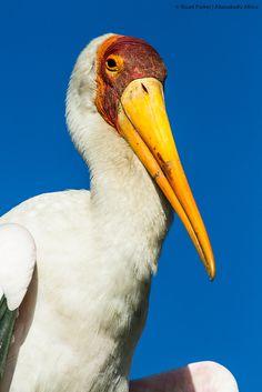 Yellow-billed stork in the heronry at Xugana Island Lodge in the Okavango Delta Okavango Delta, Stork, Safari, Island, Bird, Yellow, Photos, Animals, Pictures