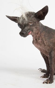 With their lolling tongues, sometimes hairless and sometimes unknept manes, The Annual World's Ugliest Dog Contest showcases pups only true dog lovers could love. List Of Animals, Cute Animals, World Ugliest Dog, Ugliest Dog Contest, Neapolitan Mastiffs, Ugly Dogs, Dog Stories, Chihuahua Mix, Puppy Mills