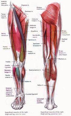 Human Anatomy and Physiology Diagrams: legs muscle diagram