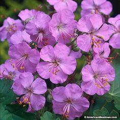 'Karmina' Geranium cantabrigiense