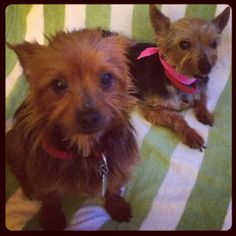 My sweet Yorkies :)   -db