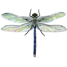 dragonfly_green_darner ❤ liked on Polyvore featuring animals, dragonflies, butterflies, insects and fillers