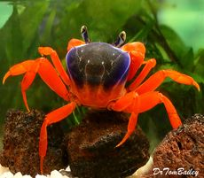 "Premium Freshwater Patriot Crab, 3"" to 3.5"" wide"