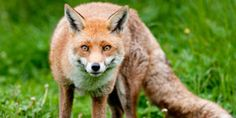 Ask the European Parliament to outlaw Fox hunting with dogs in Europe!