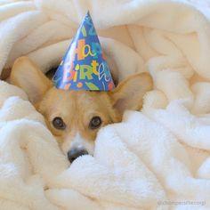 chompers the corgi Happy Birthday Corgi, Baby Corgi, Corgi Pictures, Corgis, Little Dogs, Archie, Puppy Love, Best Dogs, Party Time