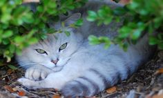10 Rarest Cat Breeds (Slideshow)