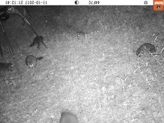 Judging from the game camera, I may have a raccoon problem! :D #  #cabin #cabins #cabinlife #cabinlove #cabinfun #cabinliving #tinyhouse #tiny #tinyhouseliving #tinyhome #tinyhomes #hunting #hunter #wildlife #wildlifephotography #raccoon #gamecamera