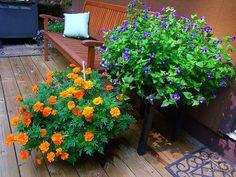 marigolds and purple torenias