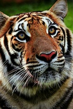 sweet tiger face