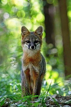 earth-song: Gray Fox, Vestal, New York by © Melissa Mancuso Penta