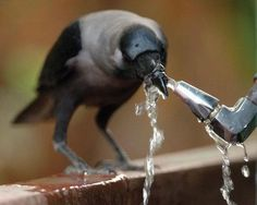 Crow at the drinking fountain. (I told you they were smart.) #crow #raven