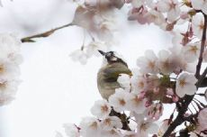 Cherry blossoms a big hit for birds in Qingdao city