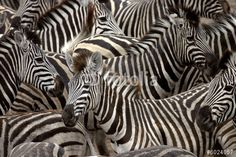 Photo: zebras 2
