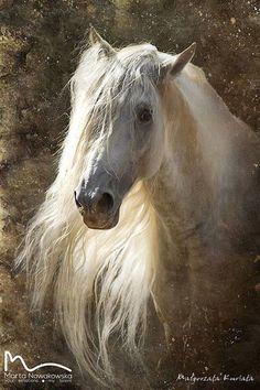 White stallion, beautiful wild looking horse! Long long mane.