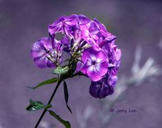 Phlox Flower Flower Photography Flower wall art Home by Putterpaws