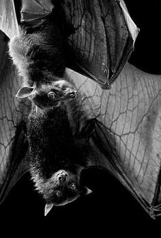 """""""Say whhhaaat?"""" says the bat in the background."""