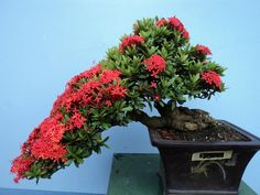Bonsai Art, Bonsai Plants, Bonsai Garden, Bougainvillea Bonsai, Flowering Bonsai Tree, Plantas Bonsai, Cherry Blossom Tree, Blossom Trees, Balcony Plants