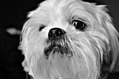 #lhasaapso #goodboy #mansbestfriend #puppy #dog #dogsofinstagram #pup #doggo #dogportrait #blackandwhite #love #happydog #petportrait #petphotography #dogphotography #happydog #photooftheday #photographyislife #fujifilmxt2 #fujifilm_xseries #fujixt2 #shihtzu #maltese #maltipoo #lhasaapsosofinstagram