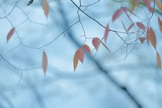 https://flic.kr/p/By61r5   Red leaf in autumn   autumn has come.