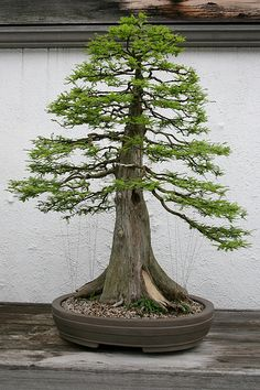 In nature/bonsai/ formal upright is common/ see the trunk taper