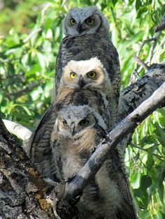 Great horned owlets at Mammoth appear to pose for another family portrait ~ Yellowstone National Park The Animals, Owl Photos, Owl Pictures, Beautiful Owl, Animals Beautiful, Owl Bird, Pet Birds, Nocturnal Birds, Great Horned Owl