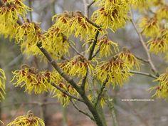 Hamamelis w.s. 'Jelena'- toverhazelaar-, grote koperkleurige bloemen die verbloeien tot okergeel. Is een bloeirijke soort. Snoei (zo nodig) direct na de bloei.