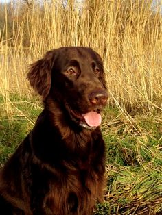 Liver colored Flat Coated Retriever