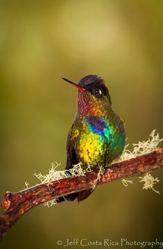 Fiery Throated Hummingbird