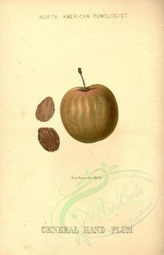 General Hand Plum - high resolution image from old book. Plum, Royalty, Collage, Clip Art, Place Card Holders, Victorian, Scrapbook, Fruit, Illustration