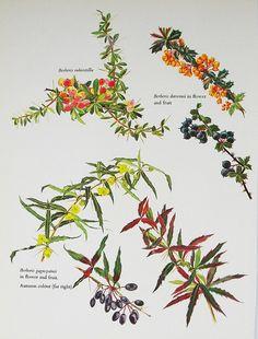 Botanical Book Illustration Barberry 1965 Cynthia by patternmania, $8.00
