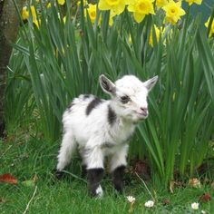"""pennywell: """"#cutedaytuesday There are lots of baby animals to cuddle here today! Including this cute fella! @pennywellfarm #goat #baby #cute #cuteanimals #love #friend #family #dayout #adventure #micropig #pig #teacuppig #minature """""""