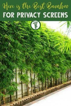 Growing a privacy screen with bamboo is a great idea if you want a fast-growing and affordable solution. Learn how to choose the best bamboo for privacy screens and some of the best-known bamboo species to use for privacy screens before buying and planting bamboo along your property lines here! #bambooplantshq #bamboo #privacyscreen #privacyfenceideas Bamboo Screening Plants, Privacy Screen Plants, Bamboo Privacy Fence, Backyard Privacy Screen, Planting For Privacy, Plant Screening, Bamboo Screen Garden, Bamboo Garden Fences, Bamboo Garden Ideas