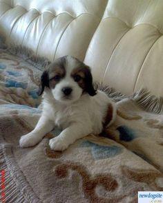 Spinone Italiano  (Italian Wire-haired Pointing Dog) (Italian Pointer)