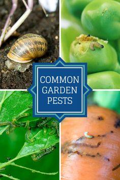 Know These 18 Common Garden Pests --> http://www.hgtvgardens.com/photos/flowering-plants-photos/types-of-garden-pests?soc=pinterest