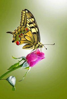 Amazing Butterflies ~ Dreamy Nature