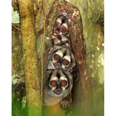 Four night monkeys squeeze themselves into a hollow in a tree trunk 25 feet above the floor of the Amazon rainforest. Photographer David Hemmings spotted the nest while trekking through the Amazon in Ecuador. Night monkeys, also known as Douroucoulis, or Owl monkeys, are the only truly nocturnal monkey species and have huge eyes to help them see.