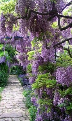 1b: Her garden is filled with Wisteria, a hanging flower that makes her garden seem like a magical castle.