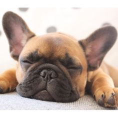 Bertha, the French Bulldog Puppy via @KaufmannsPuppy