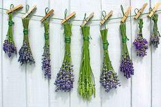 Lavendel richtig trocknen - und alles mögliche über Lavendel..